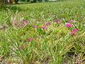 Portulaca grandiflora 0005.jpg