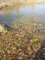 Potamogeton nodosus sl39.jpg