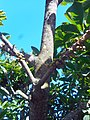 Pouteria sapota tree branch with young fruit.jpg
