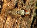 Predatory Muscid (31669608596).jpg