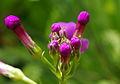Primula japonica ÖBG 2012-05-13 05.jpg