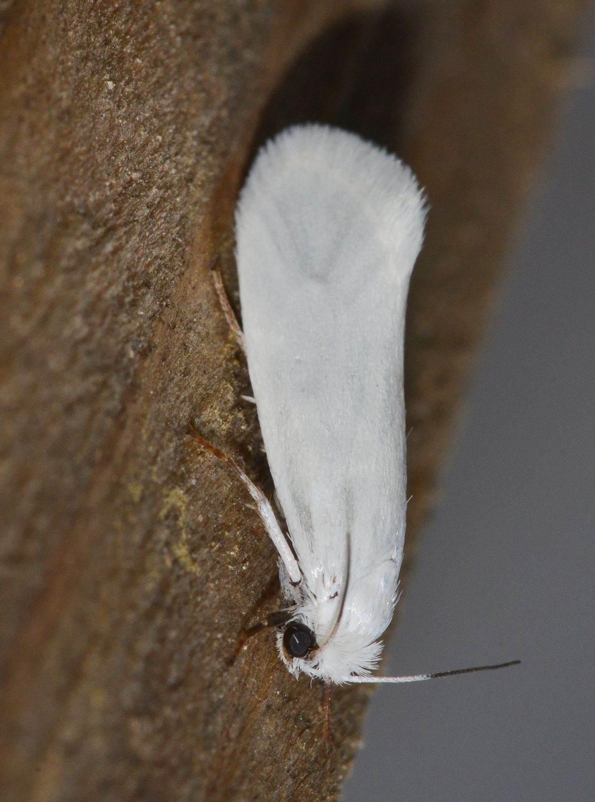 Yucca Moth Range Prodoxus quinqu...