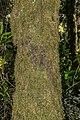 Prumnopitys ferruginea in Mount Aspiring National Park 01.jpg