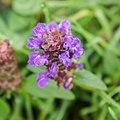Prunella vulgaris in Aveyron (2).jpg