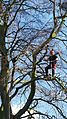 Pruning at height.jpeg