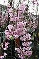 Prunus x subhirtella Pendula Plena Rosea 8zz.jpg