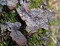 Pseudocyphellaria anthraspis 81464.jpg