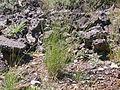 Pseudoroegneria spicata inermis (3877937450).jpg