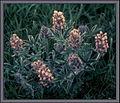 Psoralea esculenta.jpg