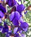 Psorothamnus fremontii 4.jpg