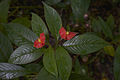 Psychotria poeppigiana Belize Zoo.jpg