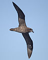 Pterodroma macroptera in flight 5 - SE Tasmania.jpg
