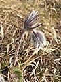 Pulsatilla pratensis (subsp. nigricans) sl33.jpg
