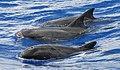 Pygmy killer whales (Feresa attenuata) off of Guam (anim252384854).jpg