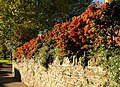 Pyracantha, Crownhill Park, Torquay - geograph.org.uk - 1017428.jpg