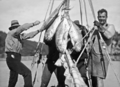 Queensland State Archives 941 A Good Catch of Albacore Whitsunday Passage c 1931.png