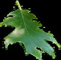 Quercus rubra leaf.png