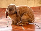 Rabbit - French Lop breed 2.jpg