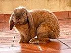 Rabbit - French Lop breed 2.jpg