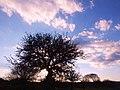 Radiografia di un albero - Radiography of a tree - panoramio.jpg