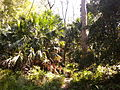 Rainforest at the start of the Kalianna Ridge Track, Budawang National Park 008.jpg