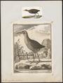 Rallus aquaticus - 1700-1880 - Print - Iconographia Zoologica - Special Collections University of Amsterdam - UBA01 IZ17500011.tif