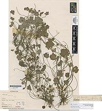 Ranunculus foliosus Kirk (AM AK22889).jpg