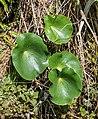 Ranunculus lyallii in Mount Cook NP 03.jpg