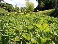 Ranunculus repens (5435119504).jpg