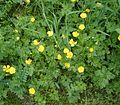 Ranunculus repens 02 ies.jpg