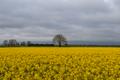 Rapeseed field in carlow.png