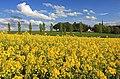 Rapsfeld in Sachsen IMG 9597WI.jpg