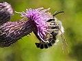 Rauhfüßige Hosenbiene Männchen Dasypoda hirtipes 160703-0468 TegelFließ SOOC5.jpg