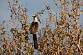 Red-billed hornbill, Ruaha National Park (4) (29024755625).jpg