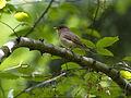 Red-breasted Flycatcher, Czerwone Bagno, Biebrzański Park Narodowy, Polska (4664104883).jpg