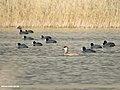 Red-crested Pochard (Netta rufina) (46185558874).jpg