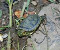 Red-eared-slider-middle-tennessee-tn1.jpg