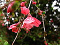 Red-spring-flower-bush - West Virginia - ForestWander.jpg