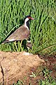 Red-wattled Lapwing with juvenile (Vanellus indicus) (32280741751).jpg