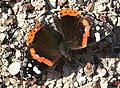 Red Admiral Butterfly (Vanessa atalanta) - geograph.org.uk - 1568597.jpg