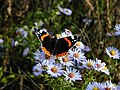 Red Admiral butterfly by Flycatcher.jpg
