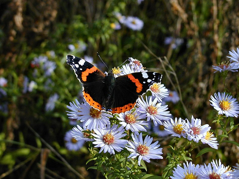 Obey the red admiral! Wikimedia Commons/Flycatcher