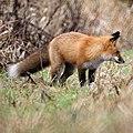 Red Fox (11078206326).jpg