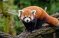 Red Panda (24797102819).jpg