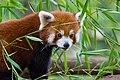Red Panda (37661254235).jpg