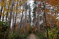 Red Pine Cathedral 2 Kings Forest.JPG