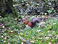 Red squirrel, West Wood, Wallington - geograph.org.uk - 1552008.jpg