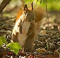Red squirrel (49804136593).jpg