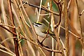 Regulus satrapa -George C Reifel Migratory Bird Sanctuary, British Columbia, Canada-8.jpg