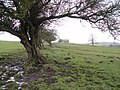 Remnants of Hedge, Wyre Way - geograph.org.uk - 1009171.jpg